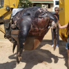 Spiaggiata in Spagna una tartaruga marina gigante