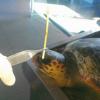 Tartaruga rischia la vita per il bastoncino d'un lecca-lecca