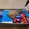 Serpenti, bovidi e una grossa tartaruga salvati dall'uragano
