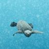 Palinuro: tre piccole tartarughe marine scoprono il mare