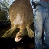 Le tartarughe acquatiche americane rischiano l'estinzione?