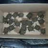 Vende 20 tartarughine terrestri senza documenti: denunciato