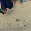 Nate sette tartarughe marine su una spiaggia tarantina