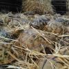 Fermato contrabbandiere con migliaia di tartarughe nel fieno