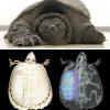 Tecnologia e tartarughe: comprendere le anomalie polmonari