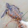 Decessi e recupero di tartarughe marine sull'Adriatico