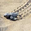 Mezzo milione di tartarughe marine nate in Turchia