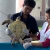 """Tartaruga marina con tre zampe salvata dai vet del """"Trang"""""""
