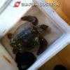 Fermo: spiaggiate cinque tartarughe marine senza vita