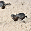Honduras: rilasciate 460 mila tartarughe marine in nove anni