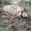 Grossa tartaruga marina trovata deceduta nel viterbese
