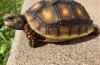 Chelonoidis (Geochelone) carbonaria: Scheda Riassuntiva
