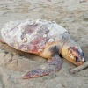 Cinque tartarughe, di cui tre morte, recuperate in Campania