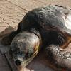 Torna in mare la tartaruga trovata ricoperta di catrame