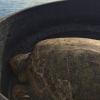Liberazione di quattro tartarughe marine a Bisceglie