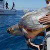 Una ricerca conferma che le tartarughe amano il golfo di Napoli