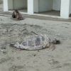 La prima tartaruga senza vita del 2018 trovata nel casertano