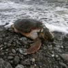 Trovata tartaruga marina deceduta su una spiaggia cilentana