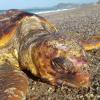 Tartaruga arenata con un amo in gola nel messinese
