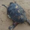 Tartaruga marina spiaggiata morta nel trapanese
