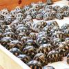 Centinaia di testuggini raggiate bloccate a bordo di una barca