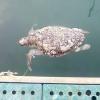 Carcassa di tartaruga marina nel porto di Giovinazzo