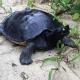Trovato un nido della rara tartaruga reale della Malesia