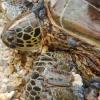 L'herpes virus ha raggiunto anche le tartarughe di Curaçao