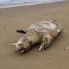 Due tartarughe spiaggiate senza vita in provincia di Latina