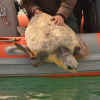 Il mare pugliese pullula di tartarughe e… di rilasci