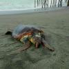 Grossa tartaruga ritrovata morta su una spiaggia salernitana