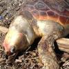 Tre tartarughe marine morte tra Messina e Salerno