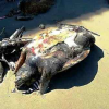 Ancora carcasse di tartarughe sulle spiagge pugliesi