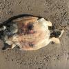 Tartaruga marina ritrovata senza vita nel salernitano