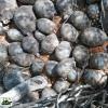 La più grande confisca di tartarughe: quasi 11.000 esemplari
