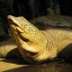 Rarissima tartaruga gigante trovata in un lago del Vietnam