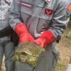 """A Pomigliano d'Arco """"appaiono"""" tartarughe azzannatrici"""