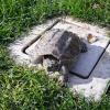 Doppio ritrovamento di tartarughe azzannatrici in poche ore