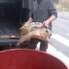 Grossa tartaruga pescata accidentalmente nel carrarese