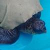 Tartaruga marina salvata nelle acque del porto stabiese