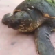 Tartaruga con vari tagli sul carapace recuperata a Brindisi