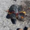 Tartaruga trovata schiacciata nel Parco di Casalgrande (RE)