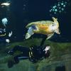 Una tartaruga marina torna in mare dopo 21 anni in Acquario