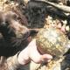 """""""Cani da tartaruga"""": Boykin spaniel aiutano i biologi in Ohio"""