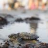Le microplastiche minacciano le nidificazioni delle tartarughe
