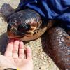 Continuano i recuperi di tartarughe marine sulle coste italiane