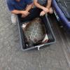 Quattro tartarughe marine ritornano in mare a Massa Lubrense