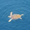 Sabato di liberazioni a Genova: tornano in mare 4 Caretta caretta