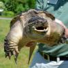 Tartaruga azzannatrice ritrovata lungo una strada fiorentina