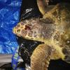 Tartaruga marina ferita a morte da qualche pescatore